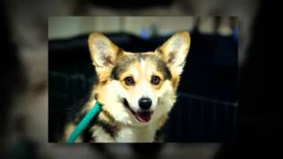 Pembroke Welsh Corgi Training