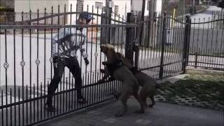 JUNIOR VS BRUTALITY -7 months old EXTASY BANDOG FEMALES