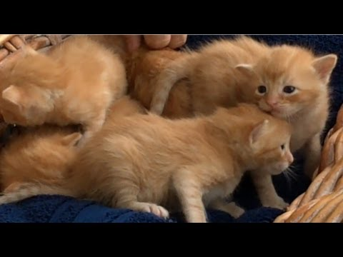 Thumbnail for Cat Video Basket of 2 week old meowing #kittens