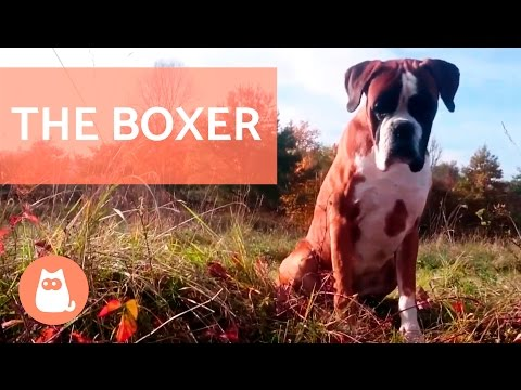 The BOXER Dog - Traits and Training!