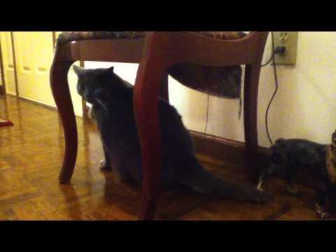 Mean Kitty Jones - Feline Hyperesthesia Syndrome - Pre-Attack