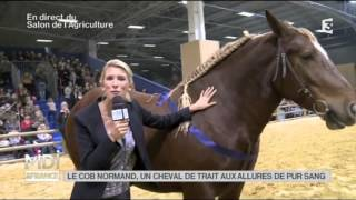 ANIMAUX : Le Cob Normand, un cheval de trait aux allures de pur sang