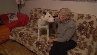 Un pitbull sauve une vieille dame :