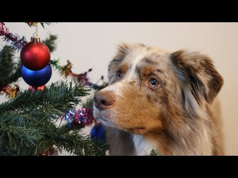 Dog Decorating the Christmas Tree | Pekka the Australian Shepherd
