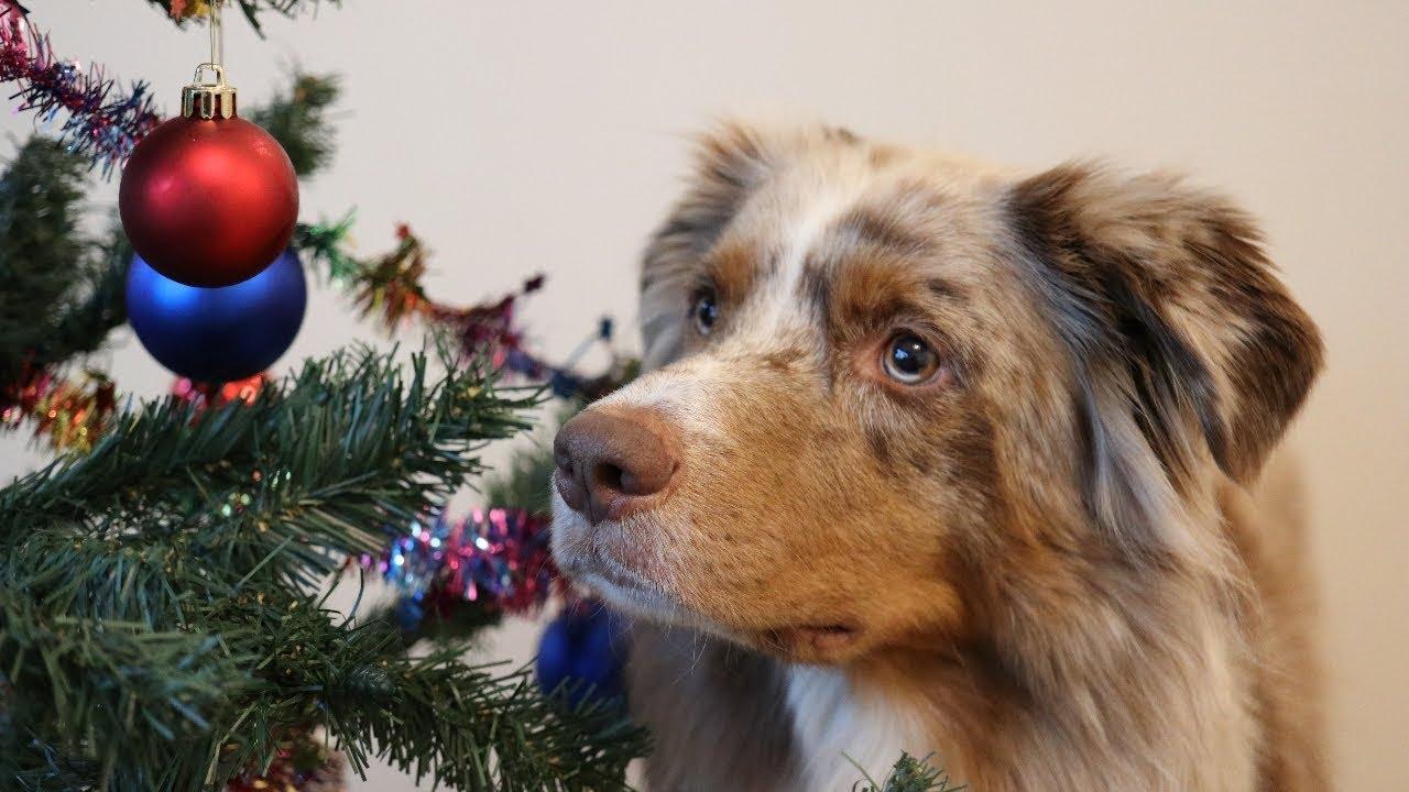 dog decorating the christmas tree canon 80d zhiyun crane v2 pekka the australian shepherd