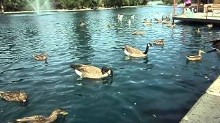 Canadian Geese in Great Falls, Montana