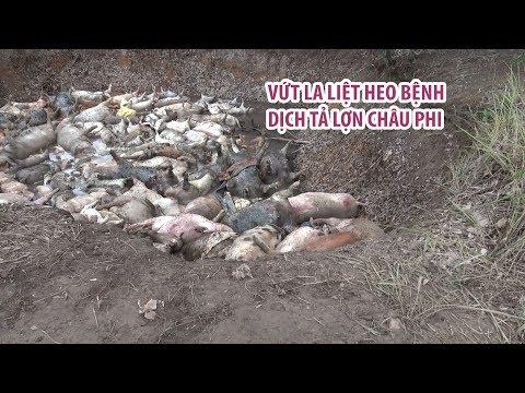 Heo mắc dịch tả lợn châu Phi bị vứt la liệt, bốc mùi hôi thối trong rừng tràm Bình Chánh
