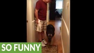 German Shepherd scared of slippery floor, walks backwards on it