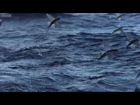 Flying Fish (BBC)