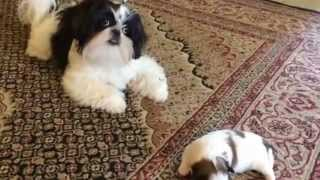 "Introducing ""spots"" To ""oreo"" Our Black And White Imperial Shih Tzu"