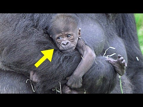 This Baby Gorilla Was Acting Up In Front Of A Crowd, But Dad Quickly Put Him In His Place