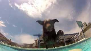 GoPro: Chocolate Lab Swim Day