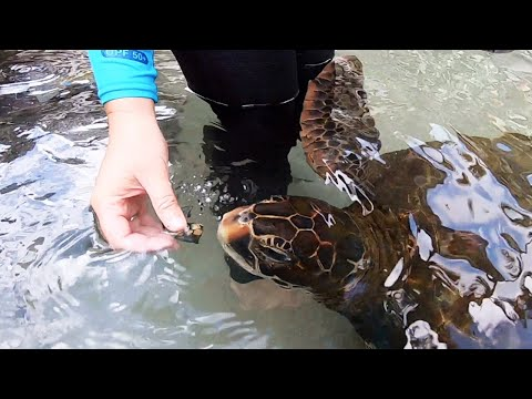 Hawaiian Green Sea Turtle Conservation - Dolphin Quest Oahu