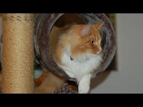 How to Care for Norwegian Forest Cats - Entertaining Your Norwegian Forest Cat