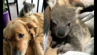 ある日、愛犬のゴールデンレトリバーの背中に コアラの赤ちゃんが... 「...