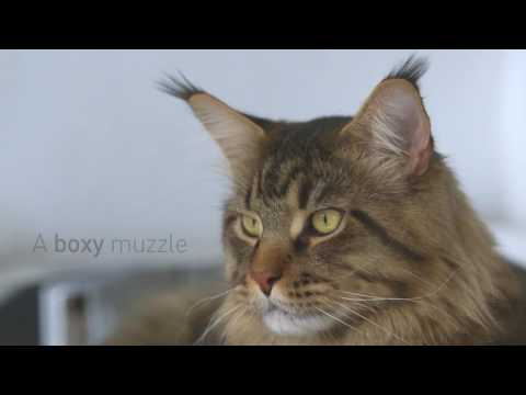 Royal Canin Feline Breed Nutrition - Maine Coon Wet