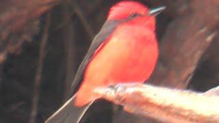 ② Vermilion flycatcher Pyrocephalus rubinus Mosquero sangretoro Rubintyrann