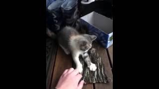 Adorable Kitten Playing :3