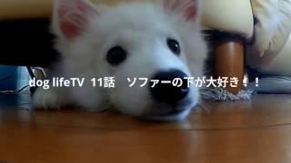 ドッグライフTV11話 日本スピッツ(サンゴ) 僕はやっぱりソファー...