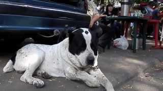ОПАСНЫЙ АЛАБАЙ АЛАН и его ДЕТИ. Central Asian Shepherd Dog.Odessa.