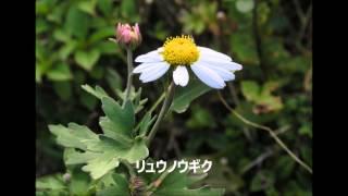吾妻山(秋)の花 H26年9月21日撮影:フルーツトマト BGM:人として ...