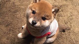 【柴犬子犬】可愛いよちよち歩きにキュン! shiba inu puppy