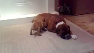 Bulldog X Boxer Pup Alfie And Dad Banjo Chillin
