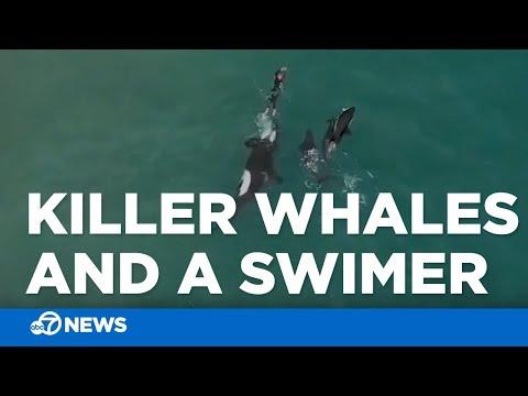 Bootleg Kev & DJ Hed - 3 Orca Whales Swim Alongside Swimmer in New Zealand