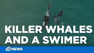 3 orcas swimming alongside swimmer in New Zealand