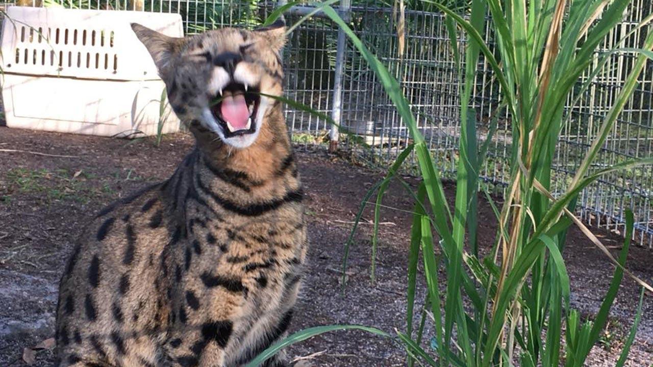New Savannah Cat Arrives Youtube