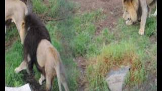 Download Video Lion fight. Four male lions fight at Melbourne Zoo MP3 3GP MP4