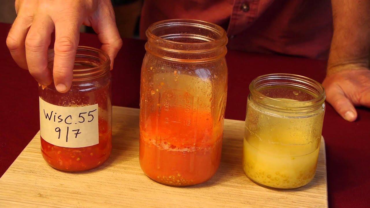 Saving tomato seeds youtube