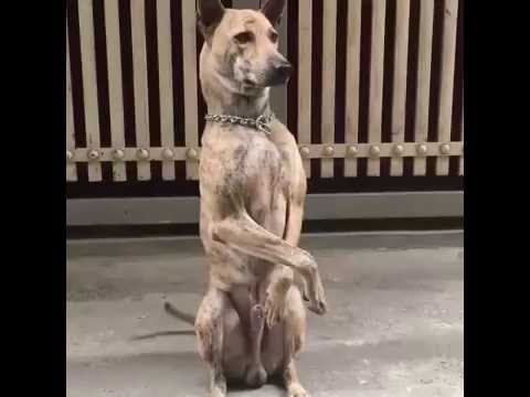 Funny Dog Videos On Youtube Cute Dog Standing 06 16 2016 Youtube