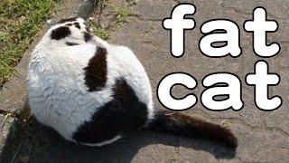 Fat Cat / まるい猫さん 20150508 Goro@welsh Corgi