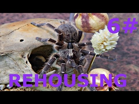 Ceratogyrus darlingi / Rear Horned Baboon L9    REHOUSING #6