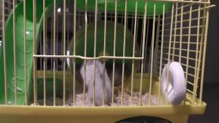 Хомячки катаются на колесе/Hamsters ride on the wheel