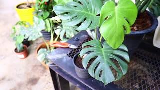 วิธีดูมอนสเตร่า (Monstera) / มอนไจแอนท์ (Monstera Deliciosa)  - สวนข้างบ้านฉัน ep30