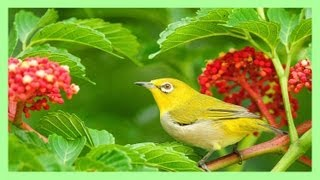 ❀ Sound Therapy ~ Beautiful Birds