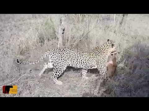 Confunde a un leopardo con su madre y termina siendo devorado