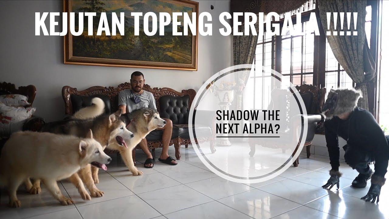ELSA JUN SHADOW VS TOPENG SERIGALA !