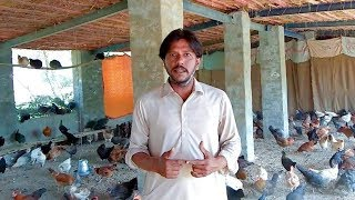 Hen Farming  in Pakistan  Golden  Misri Murgi   Desi Chicken Farming Poultry Farming Profit Info
