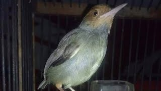 Suara Burung Prenjak Kepala Merah Betina Gacor Untuk PIKAT Perenjak Jantan Biar Cepat Bunyi Tarung