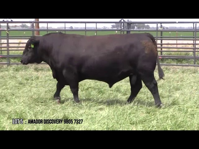 Mid Valley Bull Sale Lot 5