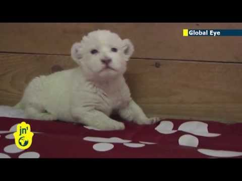 Rare baby white lion born in Serbia: Cute lion cub roars for the cameras at Belgrade Zoo