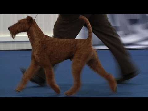 Belfast Dog Show 2015 - Terrier group