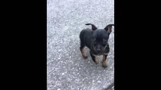 Chipin (chihuahua / Miniature Pinscher) Puppy Running