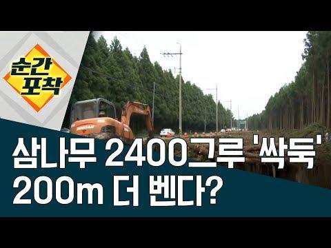 [순간포착]삼나무 2400그루 '싹둑', 200m 더 벤다? | 정치데스크
