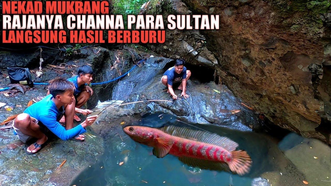 SPESIAL... Panen Rajanya Ikan Channa Para Sultan Nekad Di Mukbang