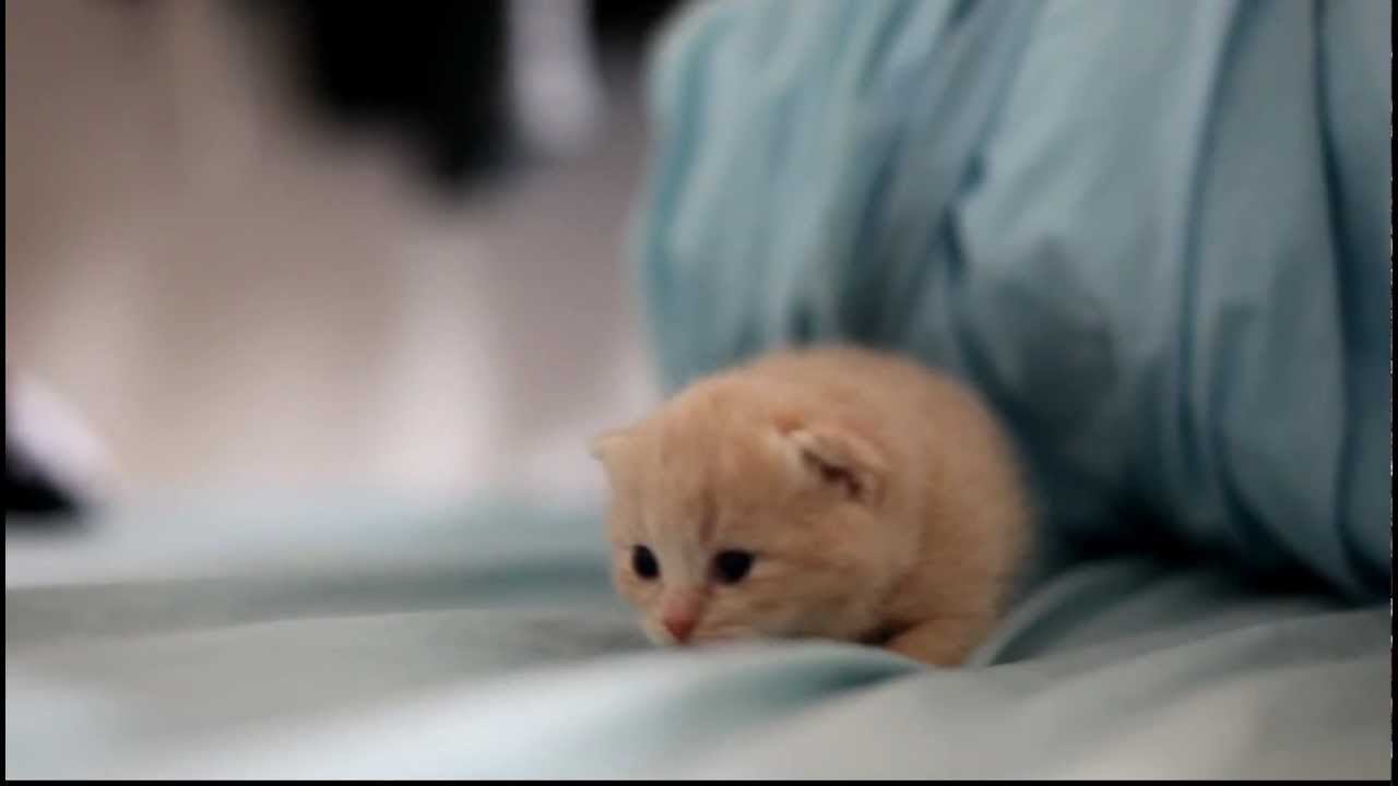 two weeks old cream tabby kittens   youtube