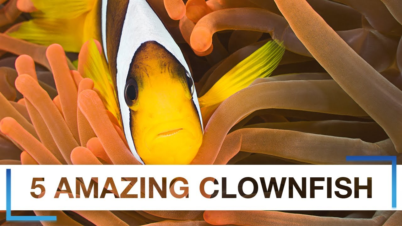5 Amazing Captive Bred Clownfish You Have Likely Never Seen